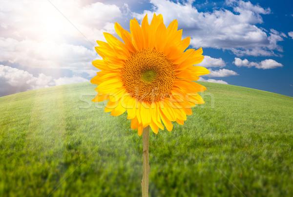 Beautiful Sunflower Over Grass Field Stock photo © feverpitch