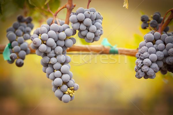 Lush, Ripe Wine Grapes on the Vine Stock photo © feverpitch