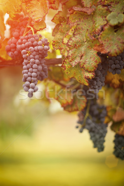 Lush, Ripe Wine Grapes on the Vine Stock photo © feverpitch