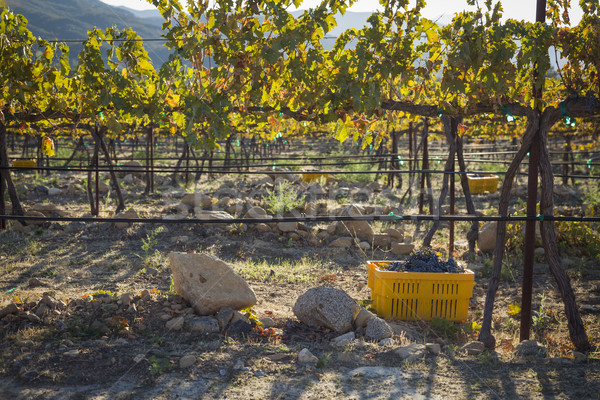 Vinho uvas colheita um cair manhã Foto stock © feverpitch