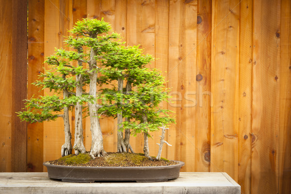 Bald Cypress Bonsai Tree Forest Against Wood Fence Stock photo © feverpitch