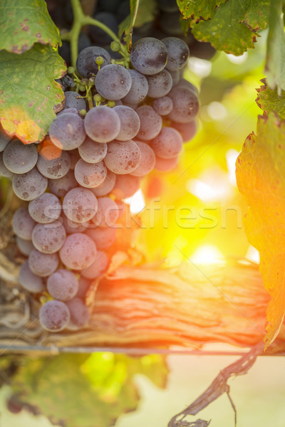 Lush Red Grape Vineyard in The Afternoon Sun Stock photo © feverpitch