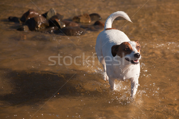 Játékos jack russell terrier kutya játszik víz boldog Stock fotó © feverpitch