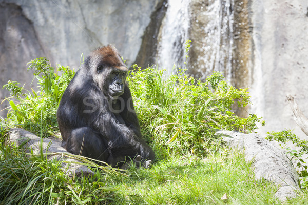 Relaxed Western Lowland Gorilla Stock photo © feverpitch