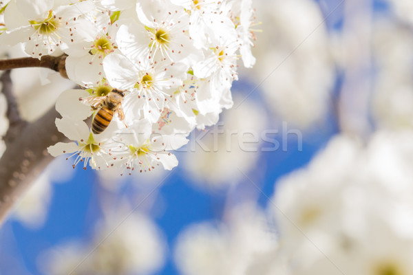 Honeybee Harvesting Pollen From Blossoming Tree Buds. Stock photo © feverpitch