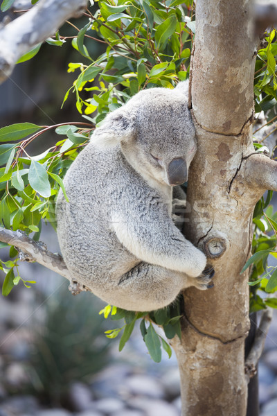 Sleeping Koala Stock photo © feverpitch