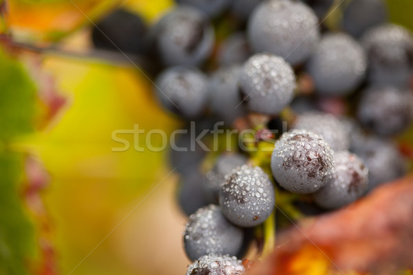 Lush, Ripe Wine Grapes with Mist Drops on the Vine Stock photo © feverpitch