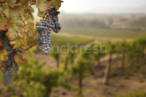 Belle luxuriante raisins vignoble matin soleil Photo stock © feverpitch