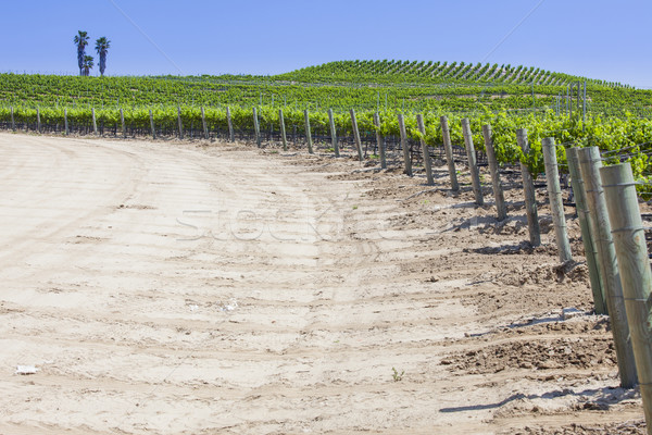 Beautiful Lush Grape Vineyard with Room For Text Stock photo © feverpitch