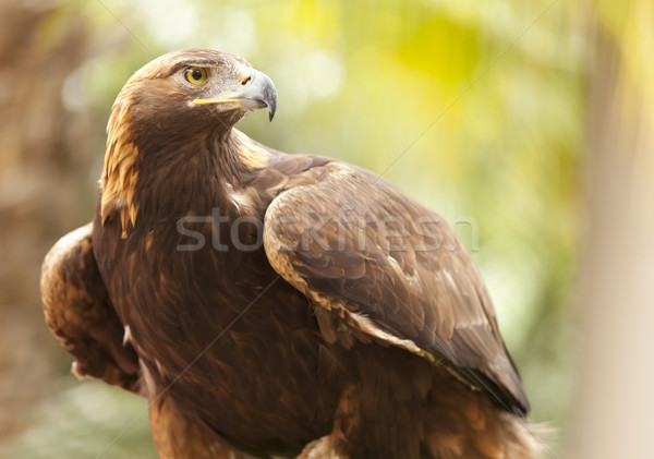 California Golden Eagle Stock photo © feverpitch