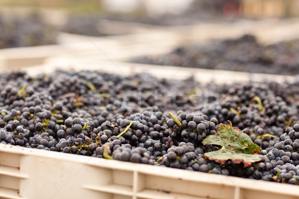 Harvested Red Wine Grapes in Crates Stock photo © feverpitch