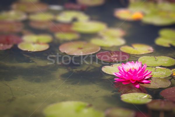 美しい ピンク ユリ 池 春 ストックフォト © feverpitch