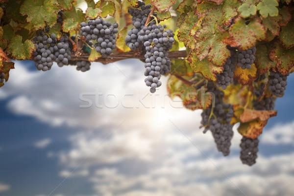 Beautiful Lush Grape Vineyard Stock photo © feverpitch