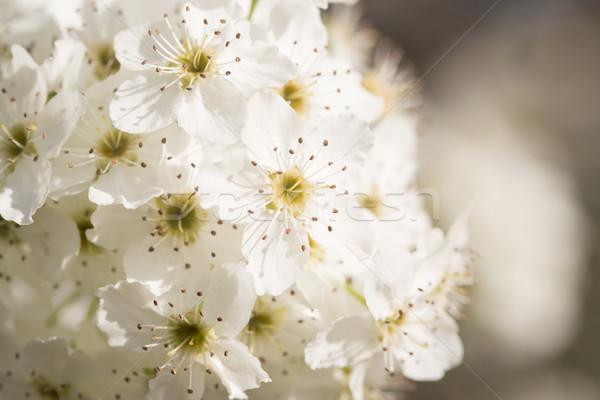 Makró korai tavasz fa virágok keskeny Stock fotó © feverpitch