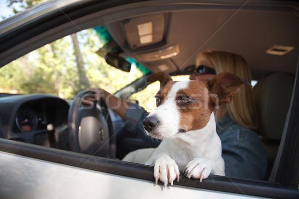 Джек-Рассел терьер автомобилей собака женщины отпуск Сток-фото © feverpitch