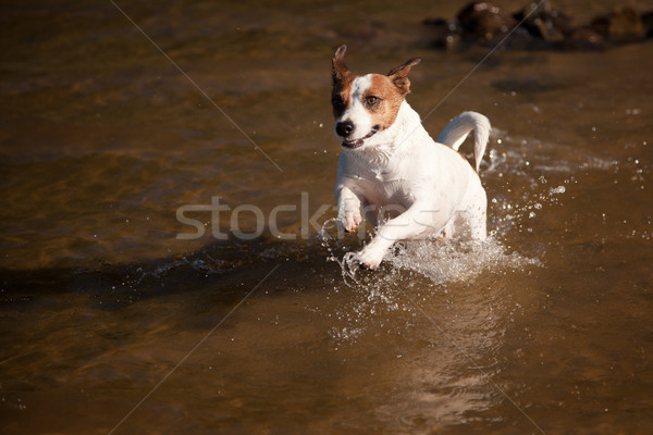 Playful Jack Russell Terrier Dog Playing in the Water Stock photo © feverpitch