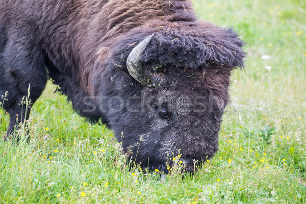 Large Bison Feeding in the Meadow. Stock photo © feverpitch