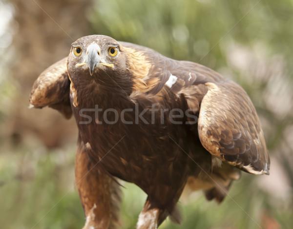 Californië gouden adelaar mooie loof ogen Stockfoto © feverpitch