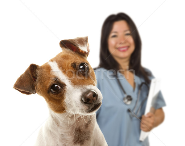 Jack Russell Terrier and Female Veterinarian Behind Stock photo © feverpitch