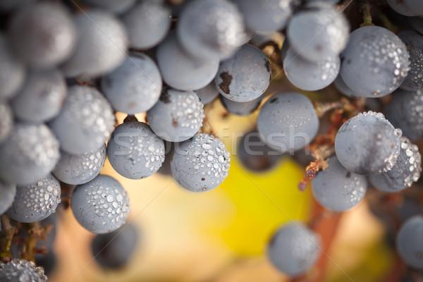 Foto stock: Luxuriante · maduro · vinho · uvas · névoa · gotas