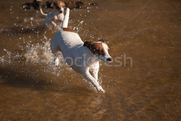 Playful Jack Russell Terrier Dogs Playing in the Water Stock photo © feverpitch