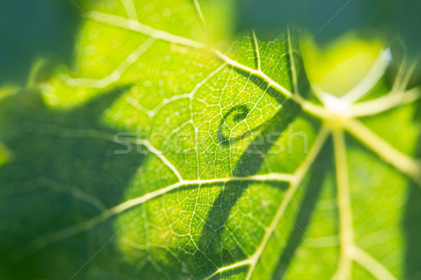 Beautiful Backlit Grape Leaf With Shadow of Vine. Stock photo © feverpitch