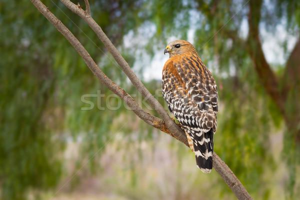 Kalifornien rot beobachten Baum Vogel Stock foto © feverpitch