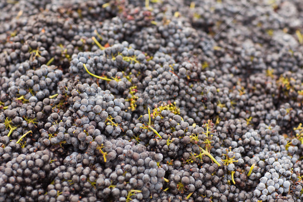 Foto stock: Vinho · tinto · uvas · belo · luxuriante · maduro · folha