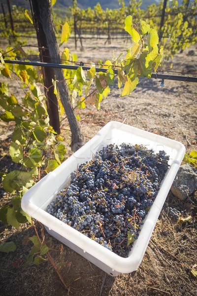Stock fotó: Bor · szőlő · aratás · egy · ősz · reggel