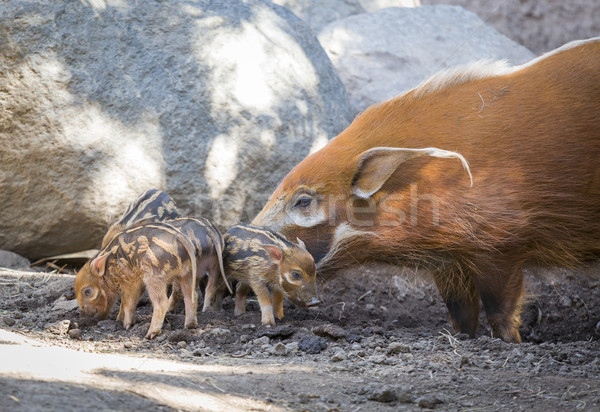 Stock photo: Visayan Warty Piglet with Mother