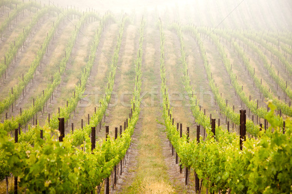 Belle luxuriante raisins vignoble matin brouillard Photo stock © feverpitch