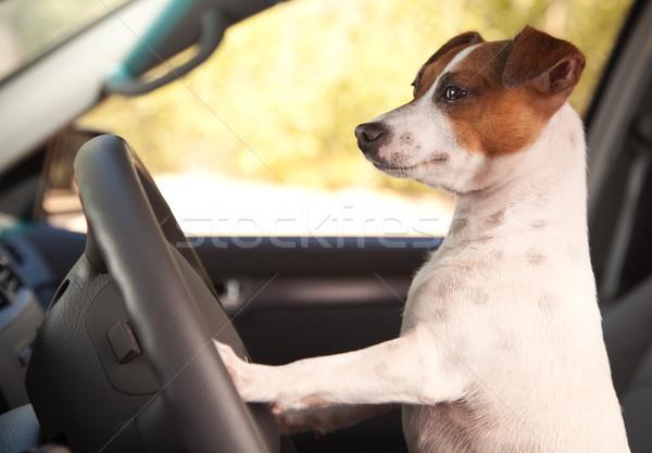 ジャックラッセルテリア 車 犬 休暇 自動 ストックフォト © feverpitch