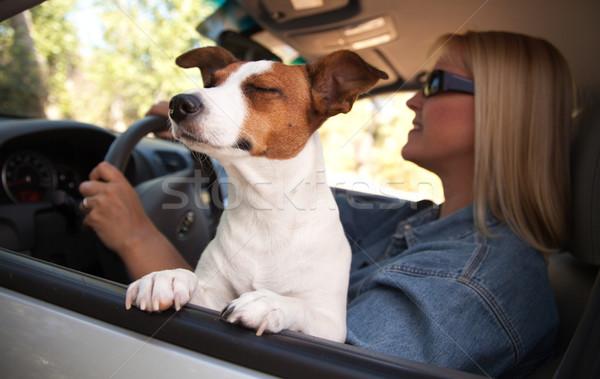 Stock photo: Jack Russell Terrier Enjoying a Car Ride