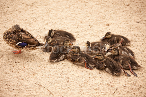 Mother Mallard Duck Rests with Ducklings Stock photo © feverpitch