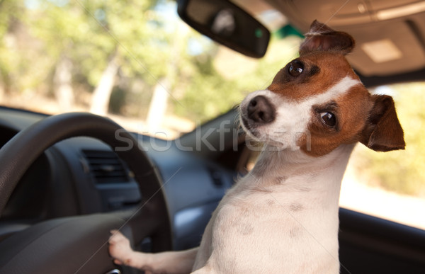Jack Russell Terrier Enjoying a Car Ride Stock photo © feverpitch