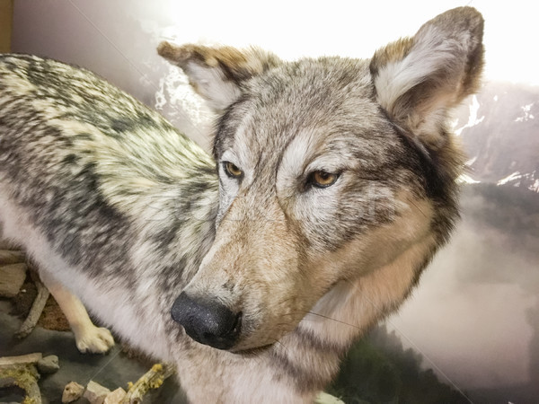 Close-up of Grey Wolf Stock photo © feverpitch