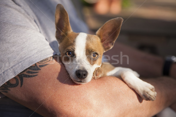 Cute Jack Russell Terrier Look On As Master Holds Her Stock photo © feverpitch