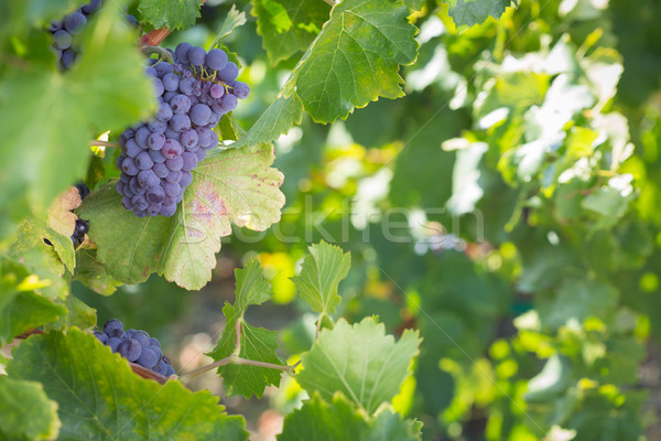 Vina exuberante maduro vino uvas vid Foto stock © feverpitch