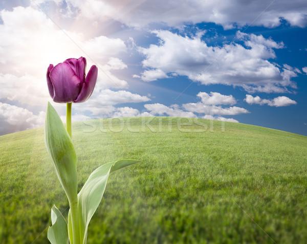 Viola tulipano campo in erba cielo bella vuota Foto d'archivio © feverpitch