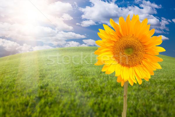 Belo girassol campo de grama horizonte céu nuvens Foto stock © feverpitch