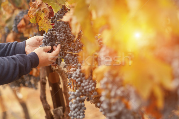 Farmer Inspecting His Wine Grapes In Vineyard Stock photo © feverpitch