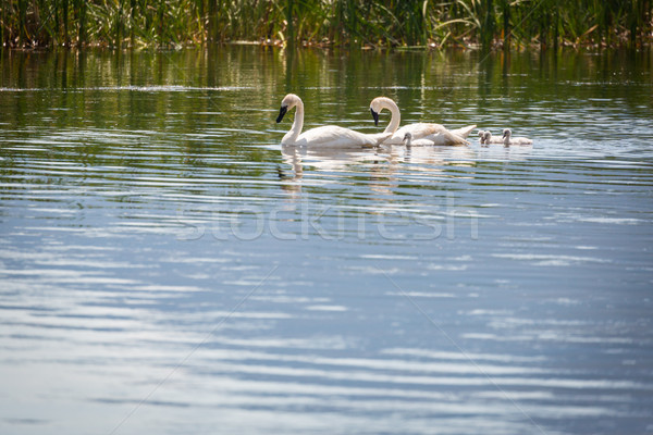 Família cisne natação água paisagem pássaro Foto stock © feverpitch