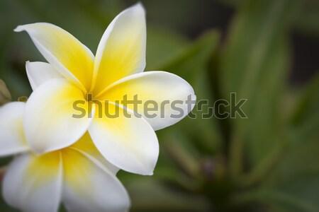 Photo stock: Belle · fleurs · branche · tropicales · fleur · arbre