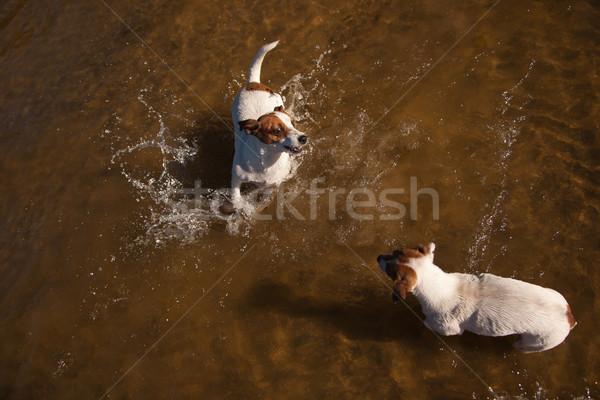Juguetón jack russell terrier perros jugando agua dos Foto stock © feverpitch