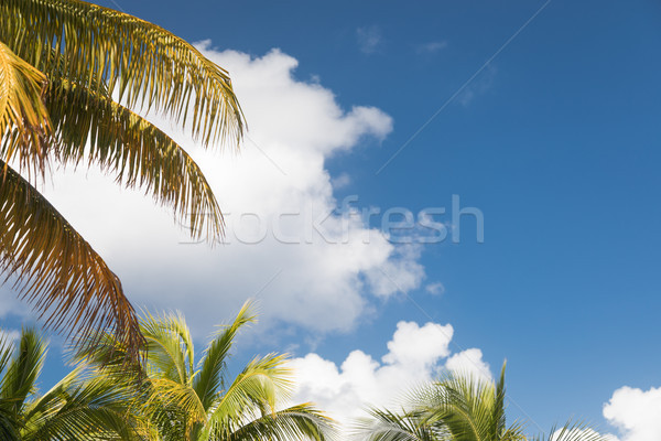 Tropical Palm Branches Against Blue Sky and Clouds Ready for You Stock photo © feverpitch