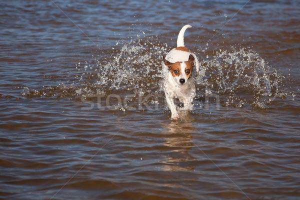 Stockfoto: Jack · russell · terrier · hond · spelen · water · natuur