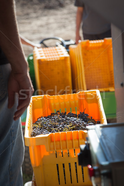 Vintner Standing Next To Crate of Freshly Picked Grapes Stock photo © feverpitch