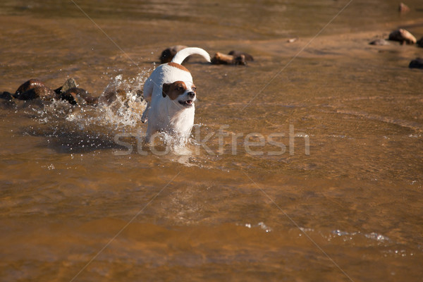 Playful Jack Russell Terrier Dog Playing in Water Stock photo © feverpitch