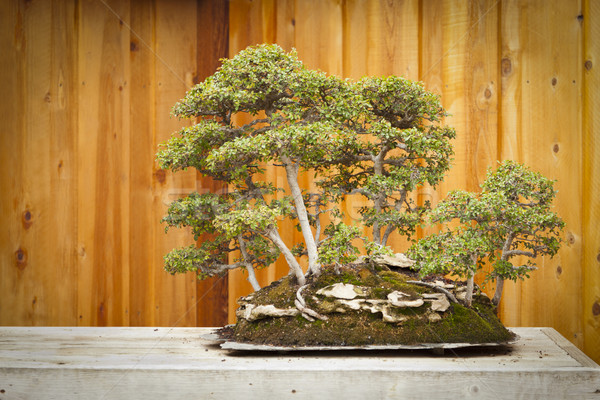 Elm Bonsai Tree Forest Against Wood Fence Stock photo © feverpitch