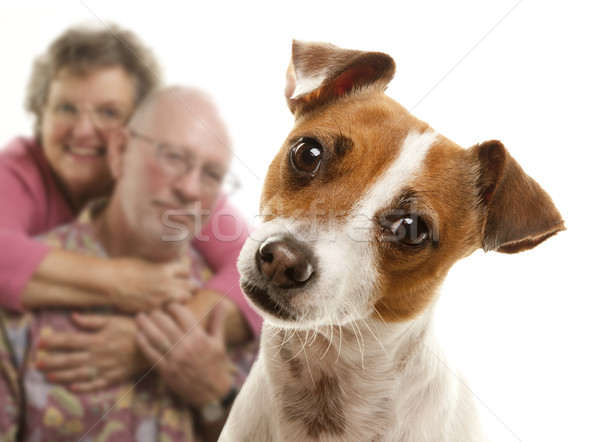 Adorável jack russell terrier casal de idosos atrás isolado branco Foto stock © feverpitch